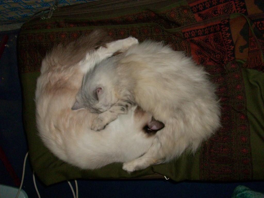 Dua ekor kucing kesejukkan